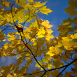 View of maple leaves — Stock Photo