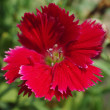 Dianthus chinensis  China Pink  is a species of Dianthus native to northern China, Korea, Mongolia, and southeastern Russia — Stock Photo