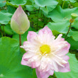 Lotus bloom in the pond. — Stock Photo
