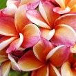 Glorious frangipani or plumeria flowers — Stock Photo