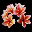 Glorious frangipani or plumeria flowers, with black background. — Stock Photo