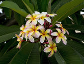 Branch of tropical flowers frangipani — Stock Photo