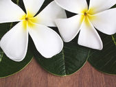 Plumeria aromatherapy flower — Stock Photo
