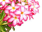 Floral background. Close up of Tropical flower Pink Adenium — Stock Photo