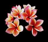 Glorious frangipani or plumeria flowers, with black background. — Stock Photo