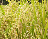 Rice plant — Stock Photo