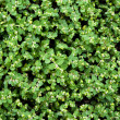 Stock Photo: Green leaves wall