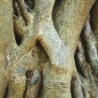Close-up of parasite tree roots — Stock Photo