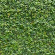 Plant walls — Stock Photo #31261923