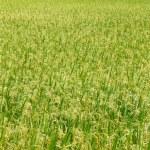 Green view of paddy rice field in Sekinchan Selangor. — Stock Photo