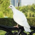 White pigeon — Zdjęcie stockowe