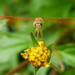 Dragonfly — Stock Photo #31283189