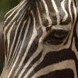 Stock Photo: A zebra