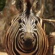 Zebra — Stock Photo #31283609