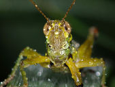 Tear of beauty grasshopper after rain — Stock Photo