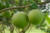 Pomelo tree. name is Taptim Siam of Thailand. — Stock Photo