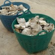Fossil oyster shells in a basket — Stock Photo