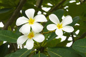 White and yellow frangipani flowers — Stok fotoğraf