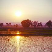 Zachód słońca na zielonym ryzem gospodarstwo starego rocznika stylu retro — Zdjęcie stockowe