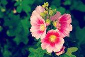Hollyhock flower old vintage retro style — Stock Photo
