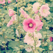 Hollyhock flower old vintage retro style — Stock Photo
