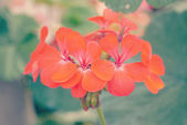Flower in garden with retro filter effect — 图库照片