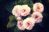 rose in garden with retro filter effect — 图库照片