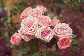 レトロなフィルター効果のある庭のバラ — ストック写真