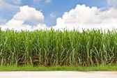 Sugarcane field and cloudy sky — Stock Photo