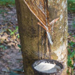 Tapping latex from the rubber tree — Stockfoto