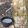 Tapping latex from the rubber tree — 图库照片