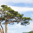 Stock Photo: Japanese pine tree