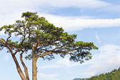 Japanese pine tree — Stockfoto