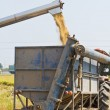 Handling of rice from combine harvester — Stock Photo