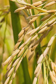 Close up of ripe rice — Stock Photo