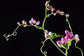 Meksykańskie pnącze kwiat — Zdjęcie stockowe