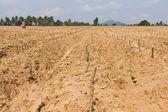 Cassava planting — Foto de Stock