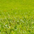 Natural outdoor green grass, shallow dof — Stock Photo #37403713
