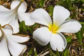 White plumeria on the ground — Stock Photo
