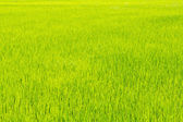 Thrived rice land for background — Stock Photo