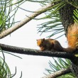 Asian red squirrel — Stock Photo #38163273