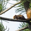 Asian red squirrel — Stock Photo