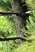 Pine trunk — Stock Photo