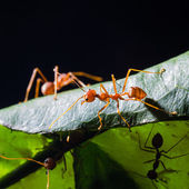 Red weaver ants — Stock Photo