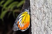 Boyalı jezebel kelebek — Stok fotoğraf