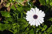 Cape daisy — Stock Photo
