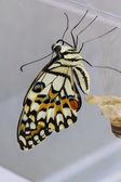 Lime butterfly (Papilio demoleus malayanus) — Stock Photo