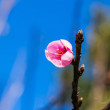 Wild Himalayan cherry (Prunus cerasoides) flower — Stock Photo