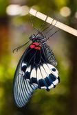 Great Mormon (Papilio memnon agenor) butterfly — Stock Photo