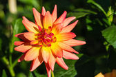 Red and yellow dahlia flower — Stock Photo